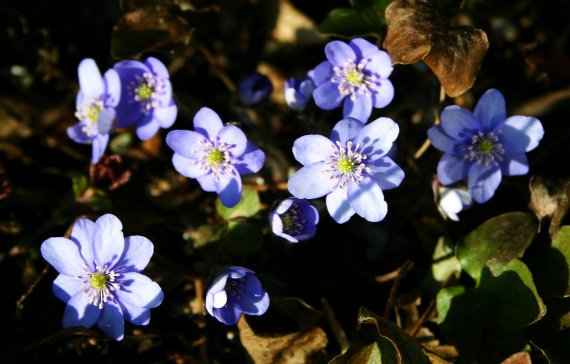 Hepatica 14th March