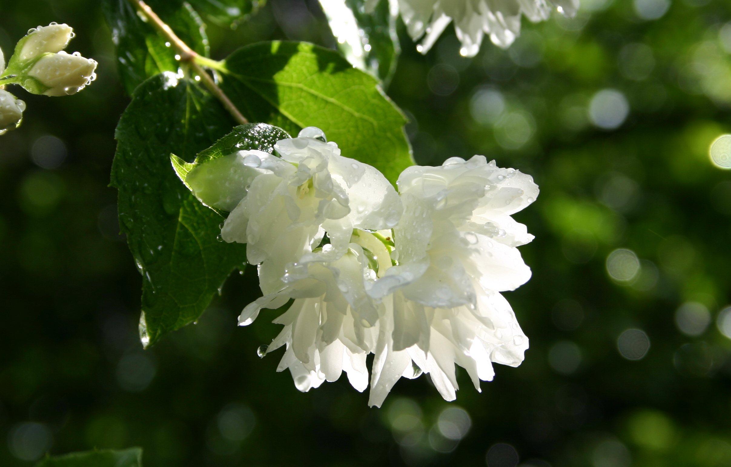 False Jasmine Philadelphus Words And Herbs