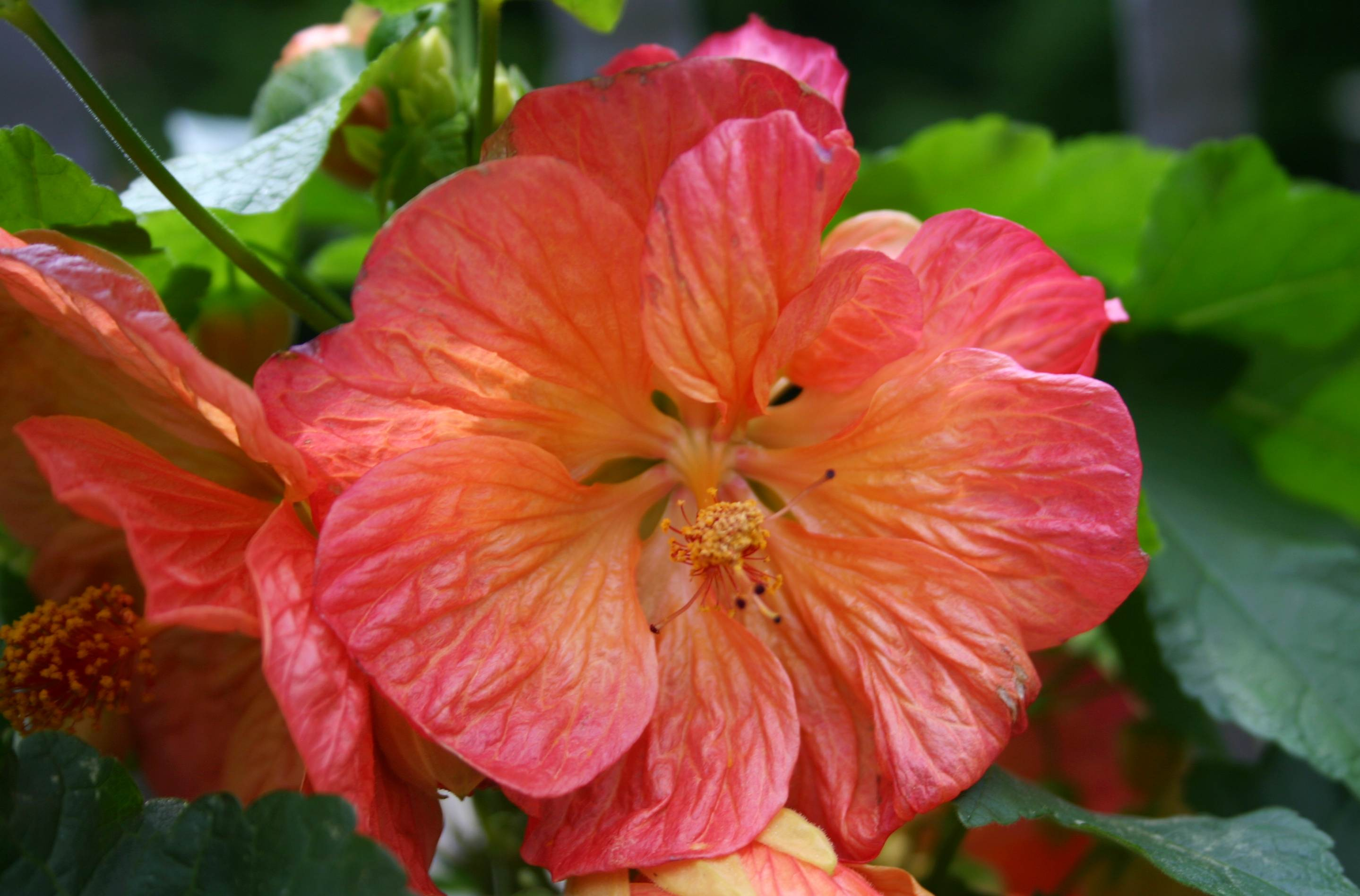 Summer Flowers Part 2 Abutilon Words And Herbs