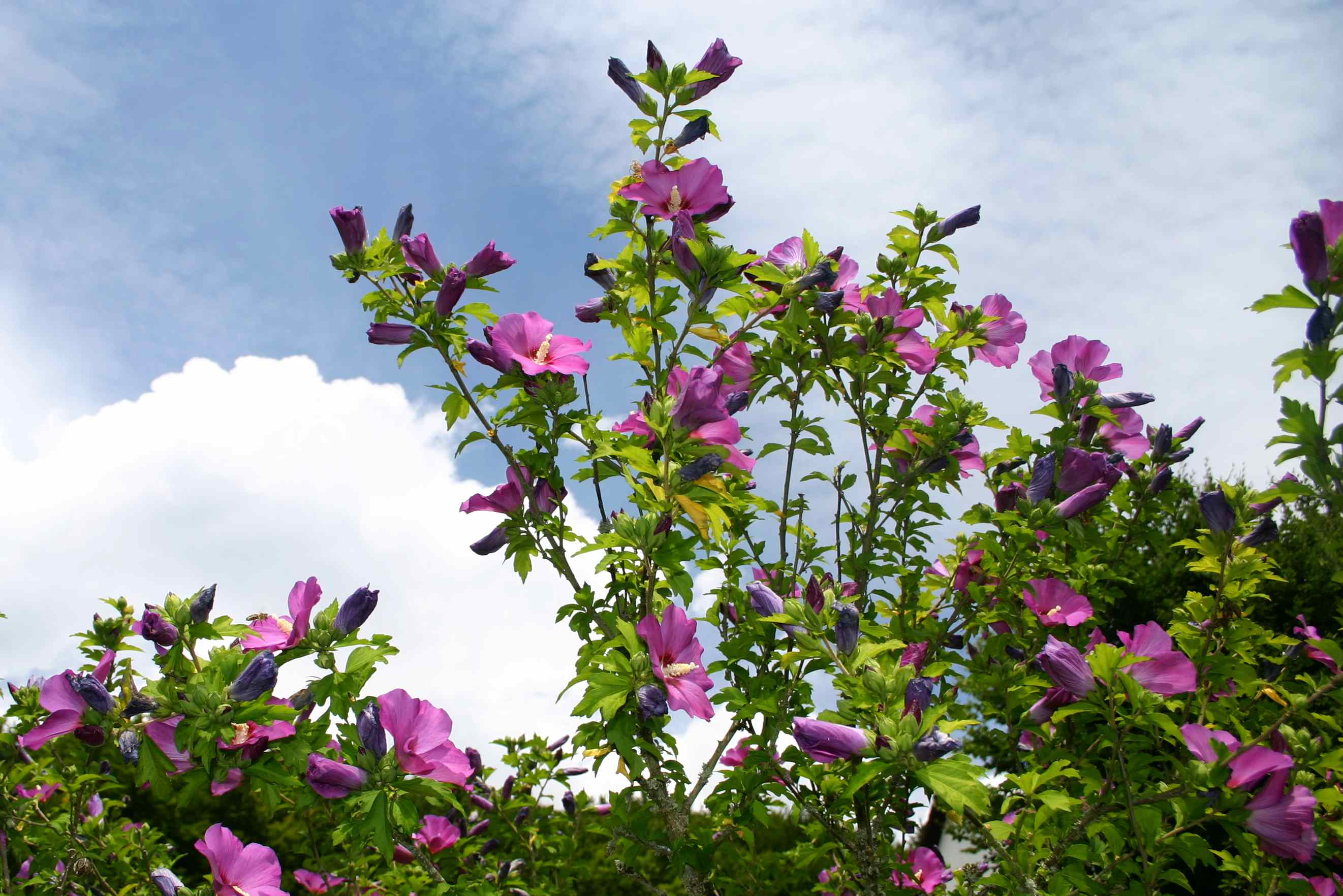 Hibiscus Words And Herbs