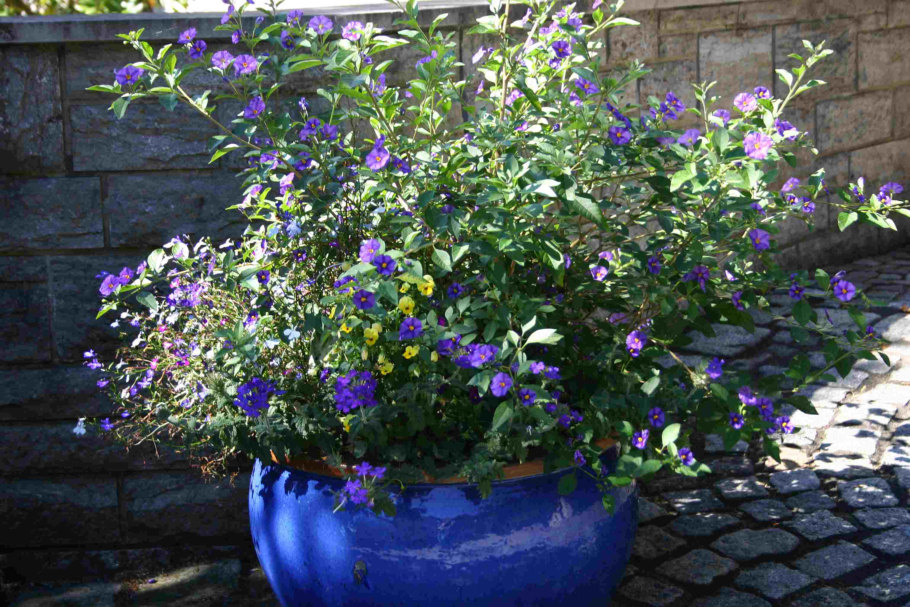 Summer flowers part 1 blue potato bush words and herbs it izmirmasajfo