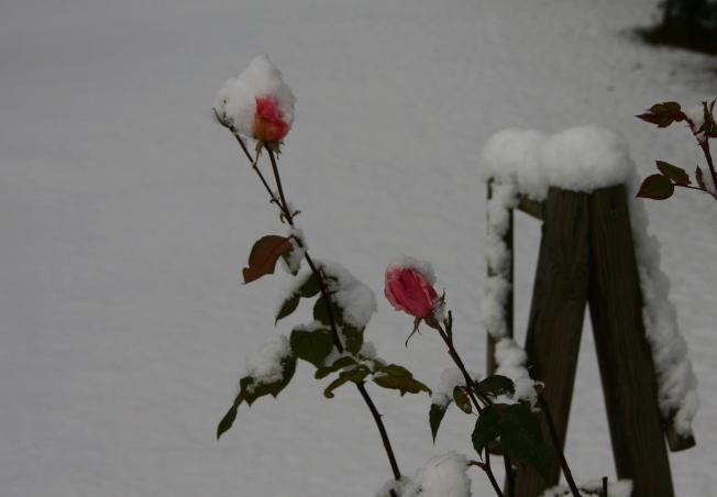 Rose December