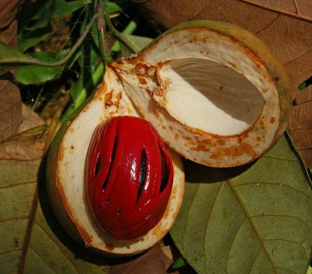 Nutmeg Fruit