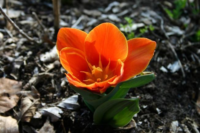 Tulip2012