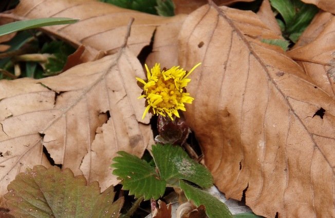 Coltsfoot2