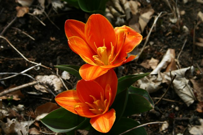 EarlyTulips