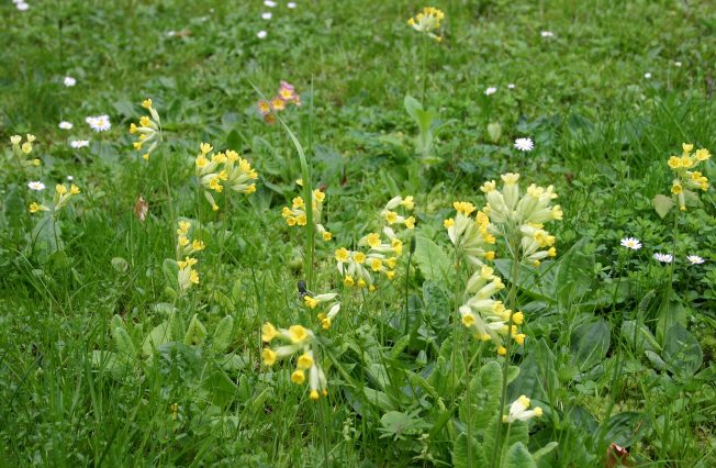 Cowslips1