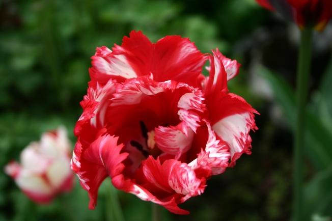 Estella Tulip