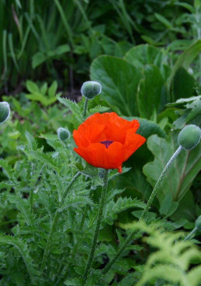 First Poppy