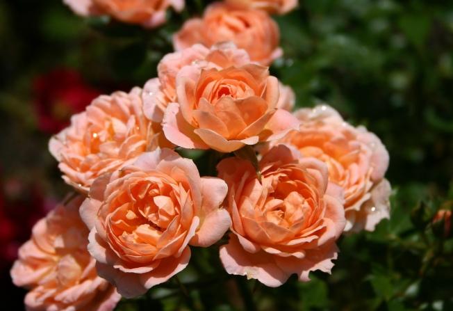 ApricotRoses