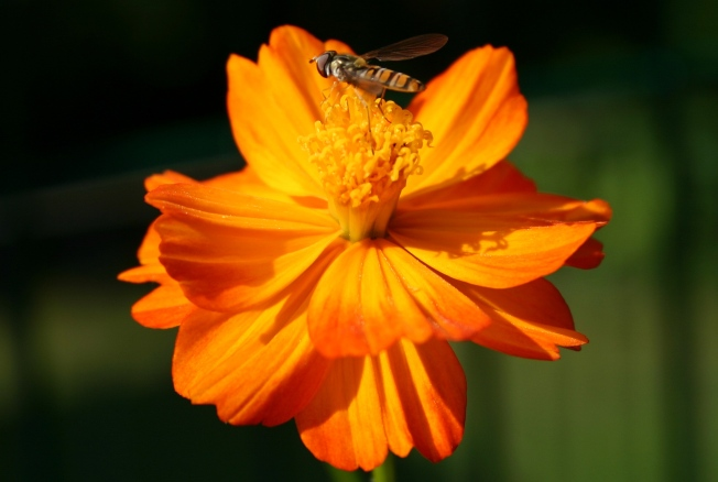 CosmosAndHoverfly