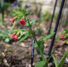 P. rubra 'Redstart'