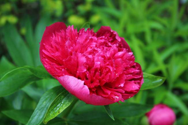 FirstPeony2