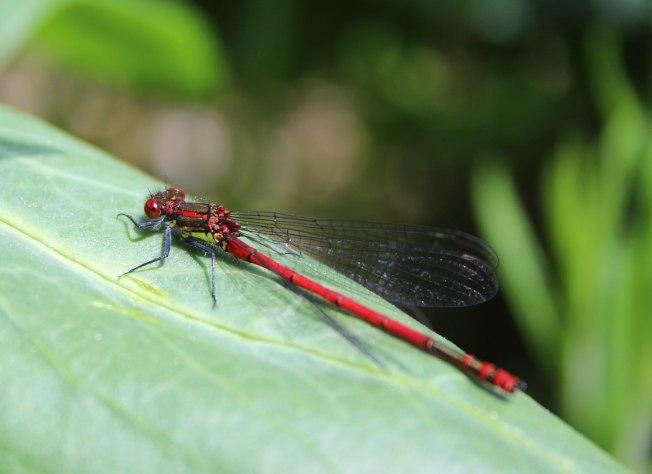 RedDamselfly