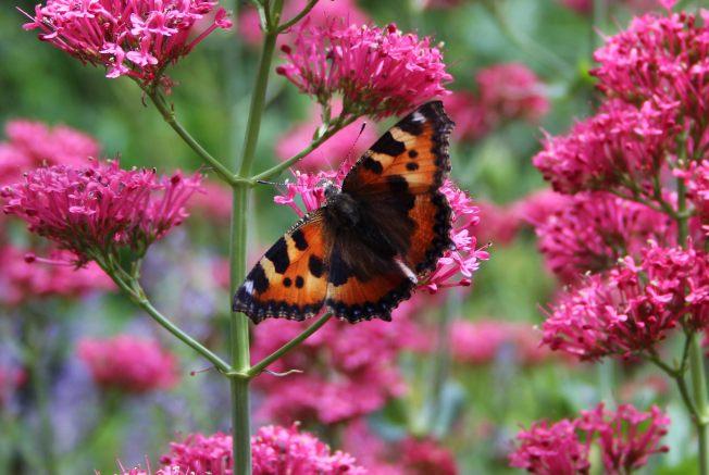 ButterfliesJune1
