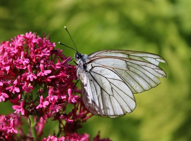 ButterfliesJune2