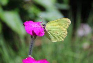 ButterfliesJune6