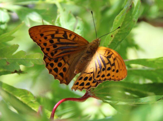 ButterfliesJune92Kaiser