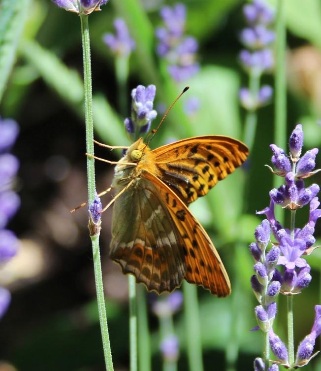 ButterfliesJune94Kaiser