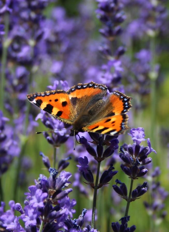 ButterfliesJune98