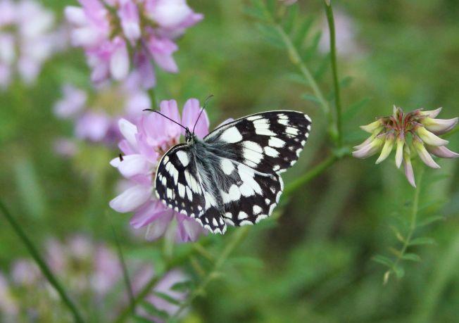 ButterfliesJune99