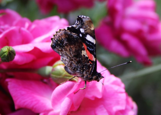 RedAdmiral2