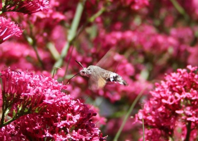HummingbirdHawkMoth1