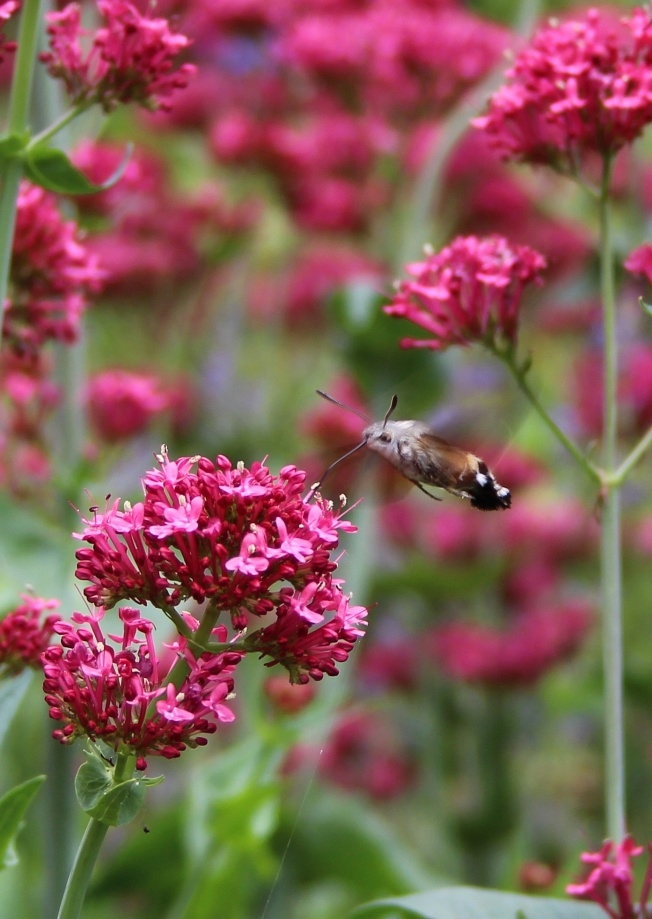 HummingbirdHawkMoth2