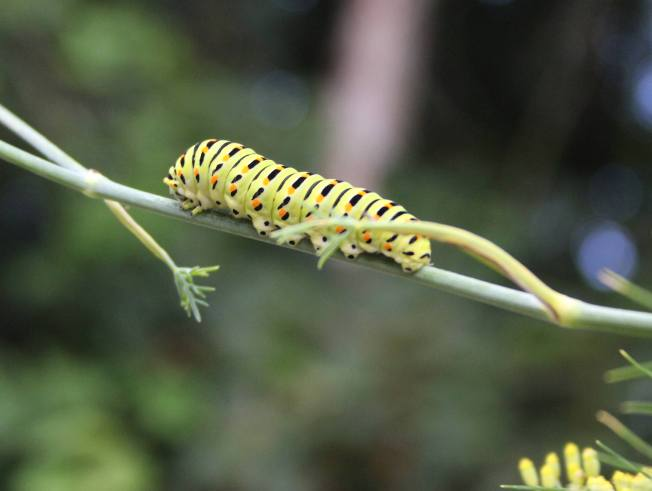 SwallowtailCaterpillar