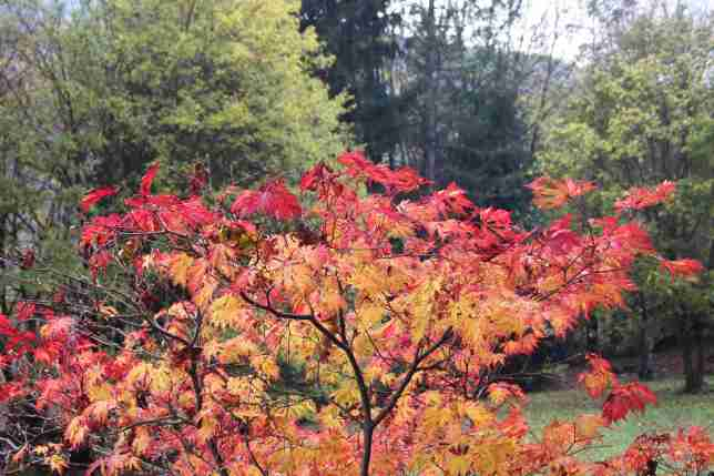 Even with no sunshine the acer glows