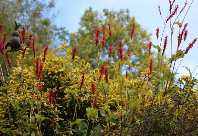 Persicaria and Golden Euonymus in the rockery