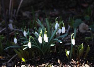 Snowdrops February 2014
