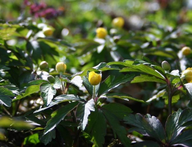 Stinzenpflanzen6