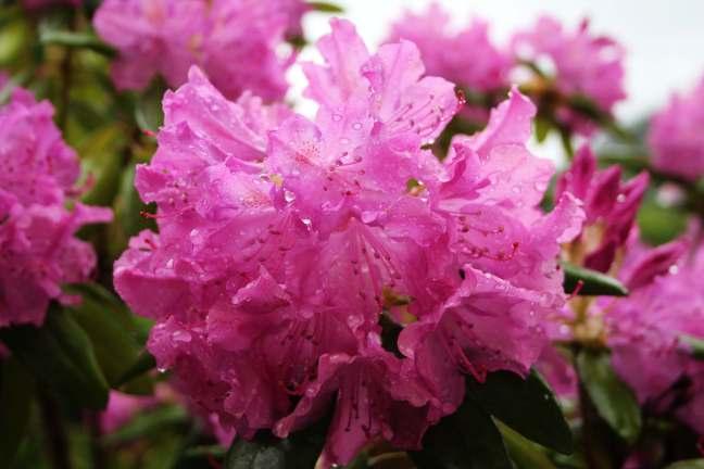 RhododendronPink
