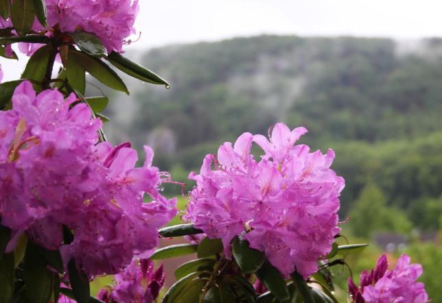 RhododendronPink2