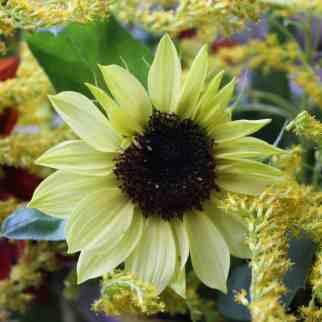 Sunflower Valentine