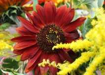 Sunflower Earth Walker