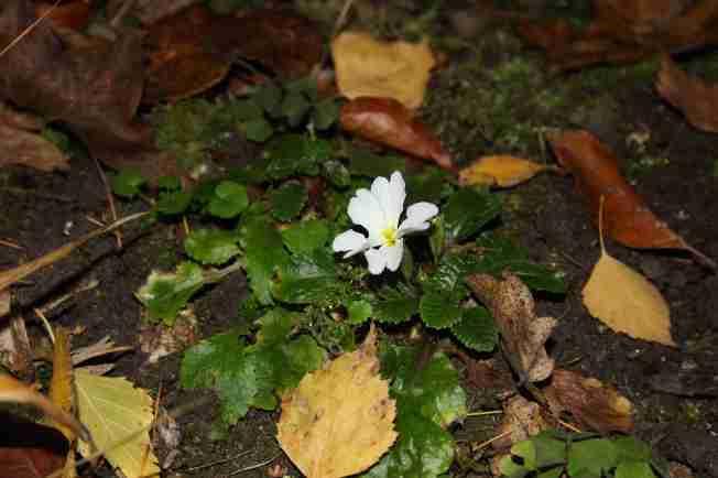 """Primula x pruhoniciana """"Schneewittchen"""""""