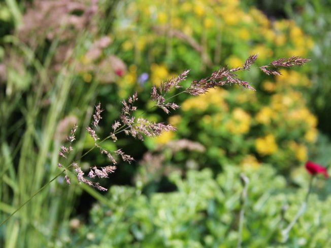 Calamagrostis1