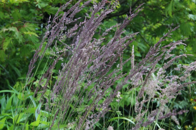 Calamagrostis3