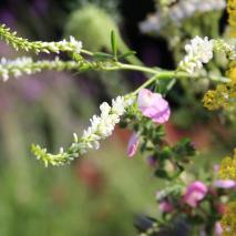 Sweet clover (Melilotus) and Ononis