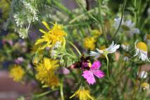 Dianthus, Chamomile, Hawkeed