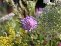 Scabiosa and Galium verum (Lady's Bedstraw)