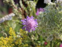 Scabiosa and Galium verum (Lady's Bedstraw)