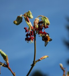 Acer flowers