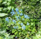 Blue Corydalis