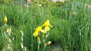 Yellow iris, pale pink poppies and...?