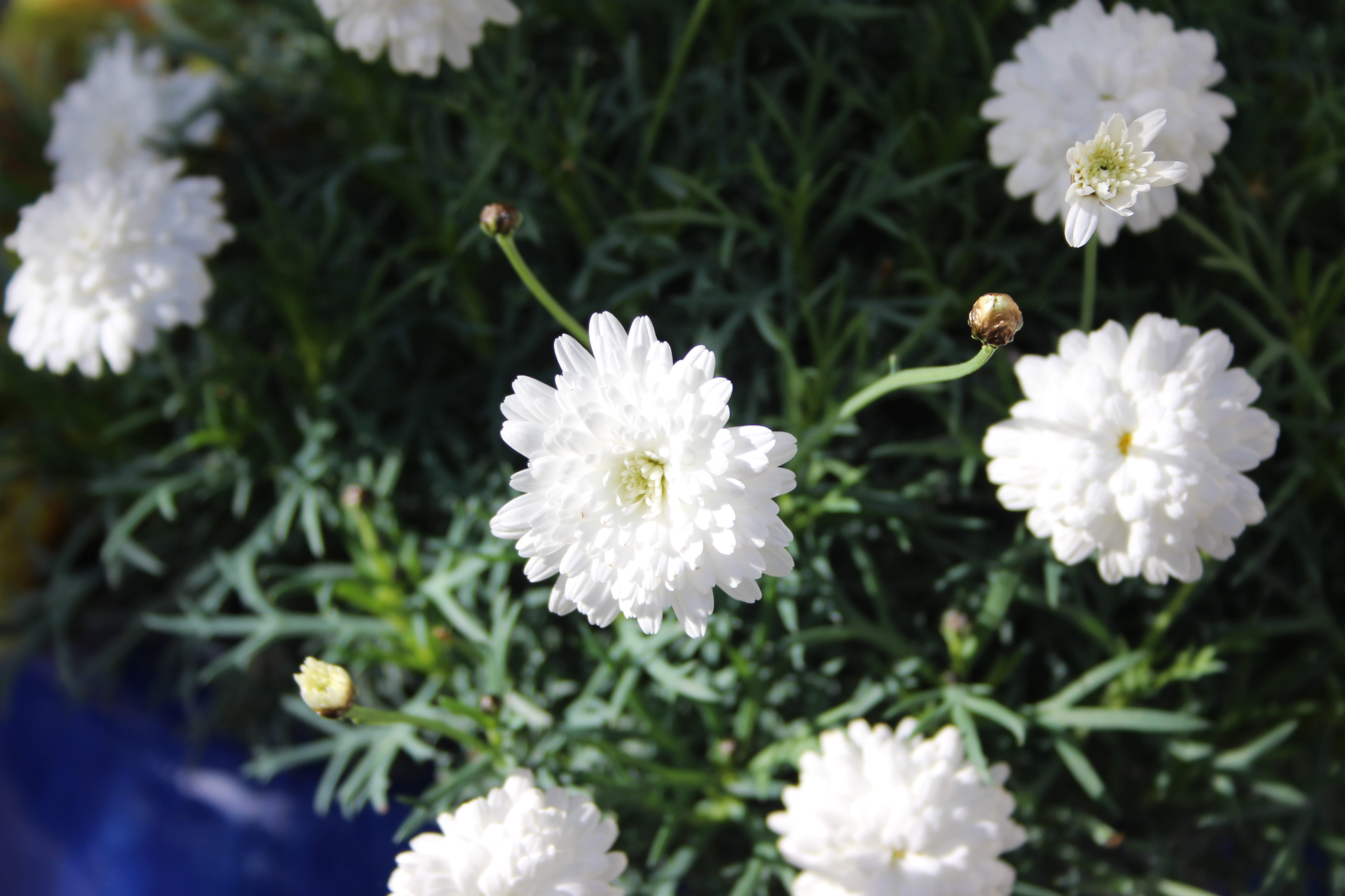 Top six november blooms words and herbs cath at absent gardener suggested it is an argyranthemum but the lack of a yellow centre is keeping me searching for the exact name mightylinksfo