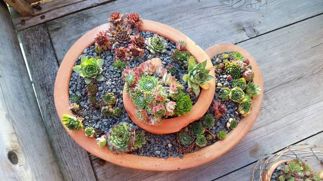 Sempervivums2