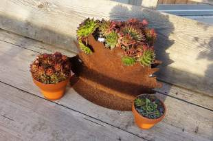 Sempervivums3